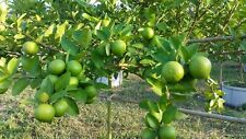 15SEEDS THAI TROPICAL KEY LIME (Citrus-Aurantifol) - FRESH SEED From Thailand