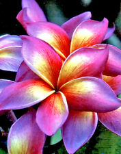 Plumeria Seeds/Flowers/ Maneerung 50 Seeds Rare!