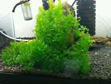 Pellia-Monosolenium tenerum, live aquarium plants, crystal shrimp moss