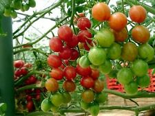 EXCLUSIVE MIX OF MANY TYPES OF ALL RED CHERRY TOMATOES!   20 SEEDS!
