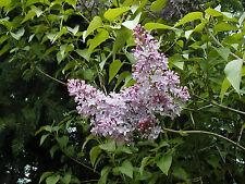 lilac OLD FASHIONED LILAC tree bush common Syringa vulgaris 45 seeds GroCo