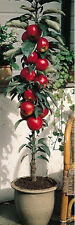 Dwarf Apple Seeds - RED DELICIOUS - Miniature  - Indoor or Outdoor - 10 Seeds