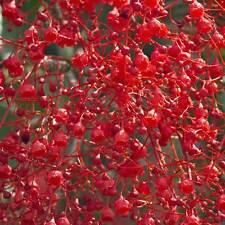 BRACHYCHITON acerifolius Illawarra Flame Tree Seeds (N 4)
