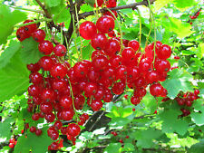 Red currant berries -10 Finest Seeds