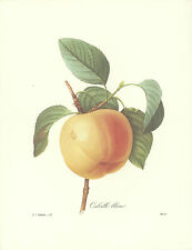 REDOUTE Botanical FRENCH TART APPLE Original FRUIT #12