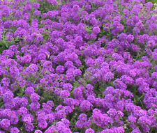 ROCK CRESS PURPLE Aubrieta Deltoidea - 3,000 Bulk Seeds