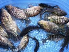 7 Lot BroodStock Blue Tilapia Fish 5 Female 2 Male For Aquaponics Algae Control