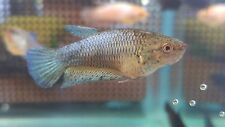 Green dots / Green Orchids Female Betta HMPK Halfmoon Plakat. Ready 2 breed!