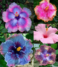 100pcs Seeds Blue Gardening Giant Exotic Coral Flower Hot Pink Color Hibiscus