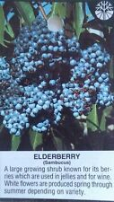 ELDERBERRY Shrub 2 gal. Live Plant Healthy Berries Amino Acids Berry Plants Wine