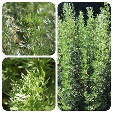 Echter Wermut Artemisia absinthium Absinth-Wermut Heilpflanze Räucherpflanze