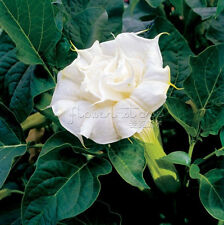 20Colorful GIANT FLOWERS WHITE ANGELTRUMPET Seeds Easy To Grow TT094