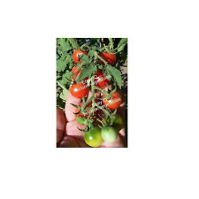 30 Tommy Toe Heirloom Cherry Tomato Seeds. ***SAME DAY SHIPPING***