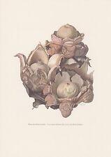 Halskrausen-Erdstern Geastrum triplex Farbdruck von 1965 Mykologie Pilze Fungi