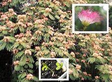 Seidenakazie/Schlafbaum bewegt Blätter wie eine Mimose