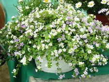 ~  BACOPA UTOPIA Fuseable * Blue & White Multi Pelleted seeds * Hanging Basket