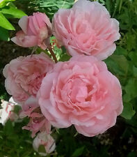 Duchesse de Brabant, Earth Kind Fragrant  beautiful pink TEA rose, easy to grow