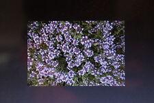 15 semi serpillo, Thymus serpyllum #422