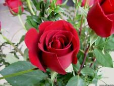 Rose Seeds - Red Rose Seeds - 10 Seeds - Flower Seeds