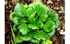 Tatsoi Asian Greens Brassica Rapa 250+ Seeds  Handles -9c to 40c+ Super hardy!