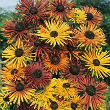 30+ Rudbeckia Chim Chiminee Flower  Seeds / Long lasting  Perennial