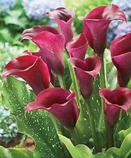 50 Red Calla Lilly seeds,planting seasons,flowering plants for home gatden