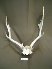 Fallow Skull Antlers and Horns Mason, Texas Deer Hunting Wildlife Ranch SF0024
