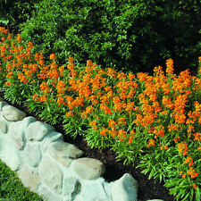 25 ERYSIMUM 'Citrona Orange' (Seeds) large fragrant clusters of flowers