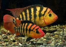Red Terror Cichlid Live Freshwater Aquarium Fish