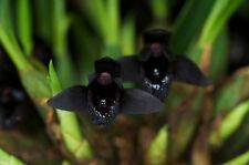 Maxillaria schunkeana species black orchid