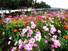 Ratoon Wildflowers Mix Seed 200 Seeds Beautiful Colorful Garden Plant Seeds K001