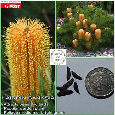 10 HAIRPIN BANKSIA SEEDS(Banksia spinulosa); Native garden plant