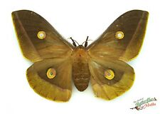 Dark Oak silk-moth Antheraea hartii SETx1 FM scarce species collectable A- 03