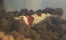 5 X Crystal Red Shrimp Bee Shrimp