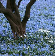25 Glory of The Snow Bulb,Chionodoxa luciliae self-seed freely under tree/shrubs