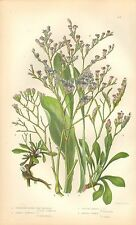 1860 Ca ANTIQUE BOTANICAL PRINT-ANNE PRATT-SEA LAVENDER VARIETIES,THRIFT