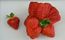 Giant fruits *Jumbo Giant Strawberry * real ,true,own pictures* 10 fresh seeds *