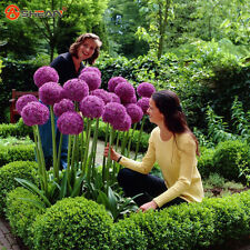 Purple Giant Allium Beautiful Flower Seeds Garden Plant Rare Flower 30pcs/lot