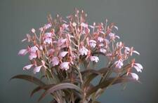 Habenaria erichmichaelii, NB to Blooming Size, Rare Terrestrial Orchid Species