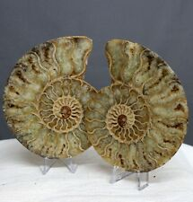 "4.26"" Amazing Split Pair Ammonite Sutured Opalized Shell Reiki Fossil, Amm121"