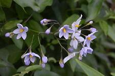 Solanum laxum Creche du Pape in 7cm pot