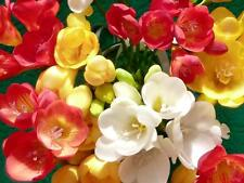 10 FREESIA mixed color flower bulbs [scented]