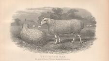 1880 ca ANTIQUE PRINT-AGRICULTURE, SHEEP, LEICESTER RAM