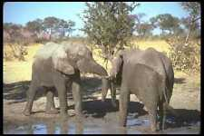 107042 African Elephants Confrontation A4 Photo Print
