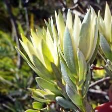 LEUCADENDRON uliginosum Sliver Outeniqua Conebush Seed (E 81)
