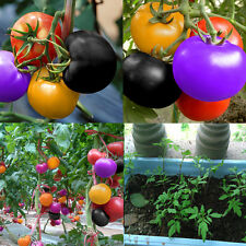 100PCS Rare Rainbow Tomato Seeds Ornamental Potted Vegetable Seed Home Garden