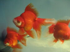 Live Red Ryukin  Goldfish (L) for aquariums and ponds