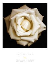Harold Feinstein Ivory Rose klein Poster Kunstdruck Bild 36x28cm - Portofrei