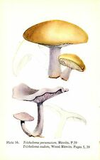 Vintage Mushroom & Fungi Print ~ Blewits & Wood Blewits
