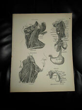 NERVOUS SYSTEM ASSORTD #86 Rare Old Print From Descriptive Atlas of Anatomy 1880